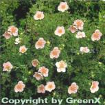 10x Fünffingerstrauch Princess - Potentilla fruticosa