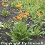 Gelber Etagenprimel - Primula bulleyana