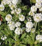 Kugelprimel Corolla White - Primula denticulata