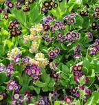 Gartenaurikel Exhibition Blue - Primula pubescens - Vorschau