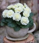 Stängellose Schlüsselblume Dawn Ansell - Primula vulgaris
