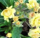 Stängellose Schlüsselblume Sunshine Susie - Primula vulgaris - Vorschau