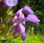 Großblütige Braunelle Loveliness - Prunella grandiflora - Vorschau