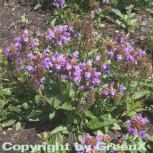 Großblütige Braunelle - Prunella grandiflora