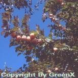 Großfrüchtige Blutpflaume 60-80cm - Prunus Trailblazer