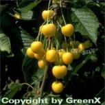 Süßkirsche Dönissens Gelbe Knorpel 60-80cm - gelbe süße Früchte - Vorschau