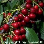 Selbstfruchtende Süßkirsche Stella 60-80cm - rote süße Früchte - Vorschau