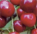 Säulen Süßkirsche Sylvia 60-80cm - sehr süß und aromatisch