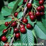 Süßkirsche Valeska 60-80cm - dunkelrote süße Früchte - Vorschau