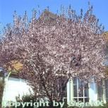Blutpflaume 80-100cm - Prunus cerasifera