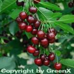 Sauerkirsche Karneol 60-80cm - rote saure Früchte
