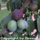 Pflaume Anna Spaeth 60-80cm - Prunus domestica - Vorschau