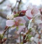 Geschlitzte Zierkirsche Kojou no mai 30-40cm - Prunus incisa