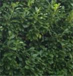 Lorbeerkirsche Greenpeace 125-150cm - Prunus laurocerasus
