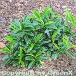 Bodendecker Lorbeerkirsche Mount Vernon 30-40cm - Prunus laurocerasus - Vorschau