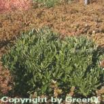 breitwachsende Lorbeerkirsche Otto Luyken 40-50cm - Prunus laurocerasus - Vorschau