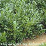 Großblättrige Lorbeerkirsche 80-100cm - Prunus laurocerasus
