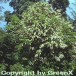 Hochstamm Portugiesische Lorbeerkirsche 80-100cm - Prunus lusitanica