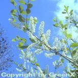Traubenkirsche 100-125cm - Prunus padus