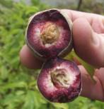 Pfirsich Roter Weinbergpfirsich 60-80cm - Prunus persica