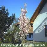 Japanische Säulenkirsche 125-150cm - Prunus serrulata - Vorschau