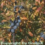 Schwarzdorn 100-125cm - Prunus spinosa - Vorschau