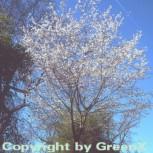 Schneekirsche Winterkirsche 80-100cm - Prunus subhirtella - Vorschau