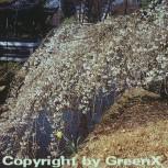 Frühlingshängekirsche 125-150cm - Prunus subhirtella - Vorschau