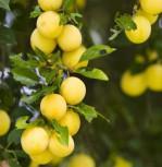 Mirabelle von Metz 60-80cm - Prunus syriaca - Vorschau
