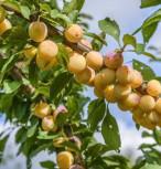 Mirabelle von Nancy 60-80cm - Prunus syriaca