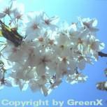 Japanische Maienkirsche 60-80cm - Prunus yedoensis