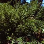 Adlerfarn - Pteridium aquilinum - Vorschau