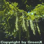 Kaukasische Flügelnuss 100-125cm - Pterocarya fraxinifolia