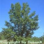 Japanische Flügelnuss 80-100cm - Pterocarya rhoifolia