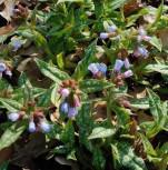 Lungenkraut Roy Davidson - Pulmonaria longifolia