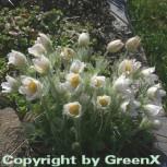 Weiße Küchenschelle - Pulsatilla vulgaris - Vorschau