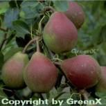 Birne Clapps Liebling 60-80cm - saftige und weiche Früchte