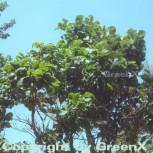 Japanische Kaisereiche 60-80cm - Quercus dentata