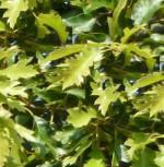 Sumpfroteiche 100-125cm - Quercus falcata