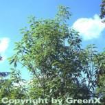 Blaue Japanische Eiche 100-125cm - Quercus glauca