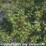 Buscheiche 125-150cm - Quercus ilicifolia - Vorschau