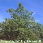 Schindel Eiche 125-150cm - Quercus imbricaria - Vorschau