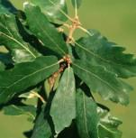 Immergrüne Zerreiche 80-100cm - Quercus kewensis - Vorschau