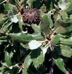 Wintergrüne Türkische Eiche 100-125cm - Quercus macrolepis