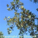 Schwarz Eiche 60-80cm - Quercus marilandica - Vorschau