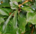 Wasser Eiche 125-150cm - Quercus nigra - Vorschau