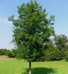 Säulenförmige Sumpf Eiche 125-150cm - Quercus palustris - Vorschau