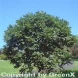 Pontische Eiche 25-30cm - Quercus pontica - Vorschau