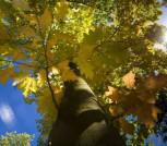 Rot Rindige Amerikanische Eiche 125-150cm - Quercus rubra - Vorschau