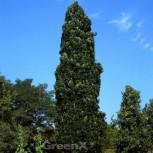 Säulenförmige Eiche 80-100cm - Quercus warei